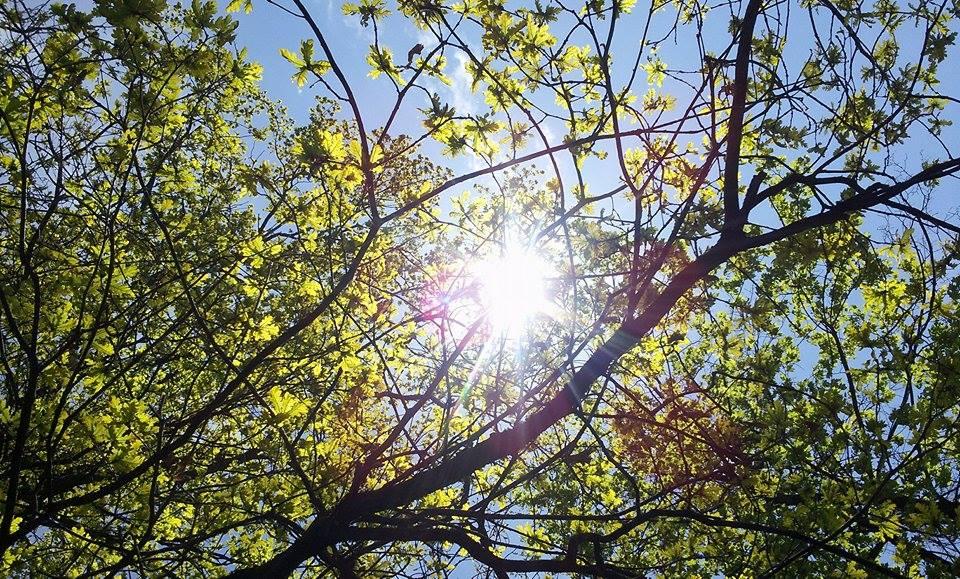 Eichelbaum in Sonne